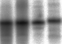 Gel electrophoresis reveals DNA is attached to the silicon